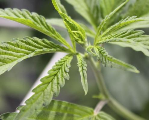Le infiorescenze femminili di Cannabis: i fiori di Cacapa