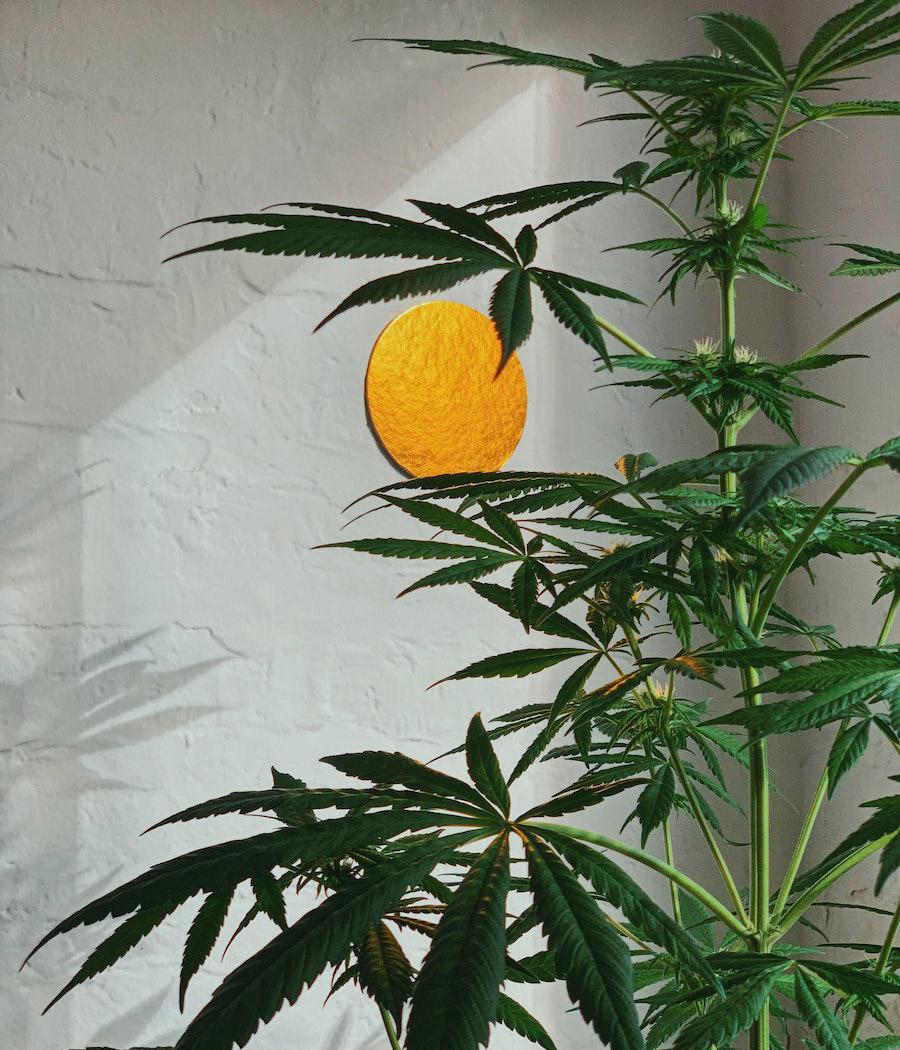 come coltivare cannabis: la talea