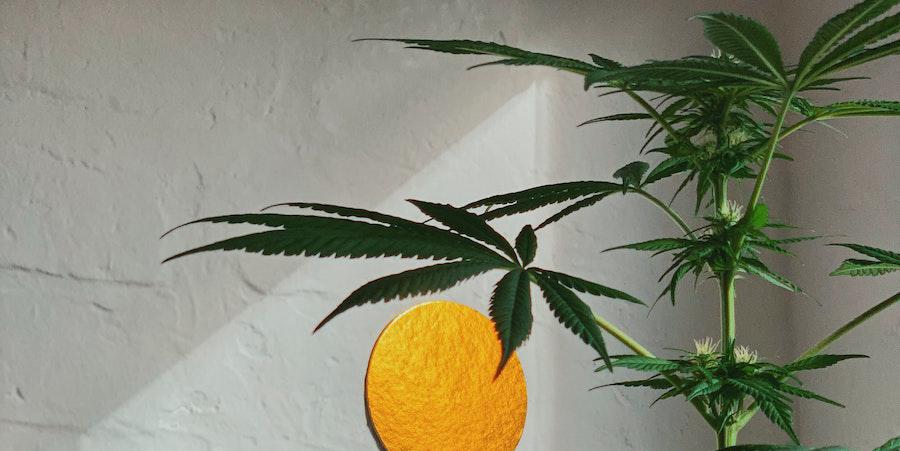 Come coltivare cannabis