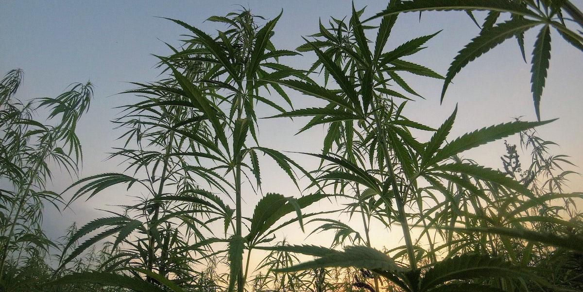 differenza indica sativa ed effetti della cannabis