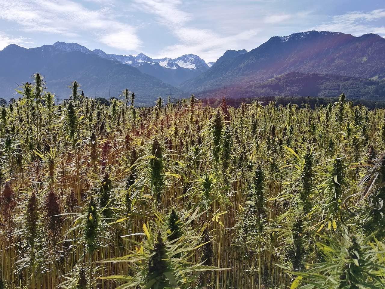 campo cannabis fiori