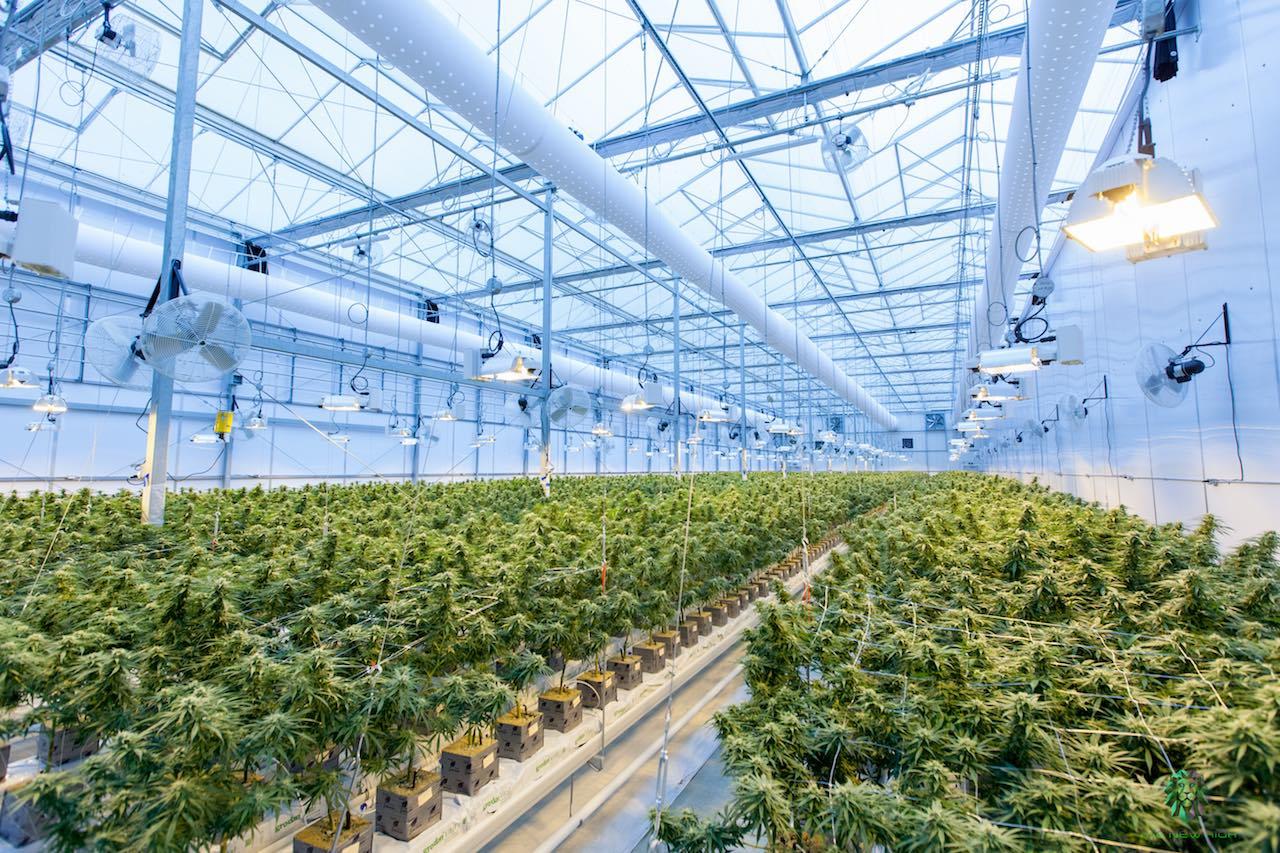 coltivare cannabis indoor serra