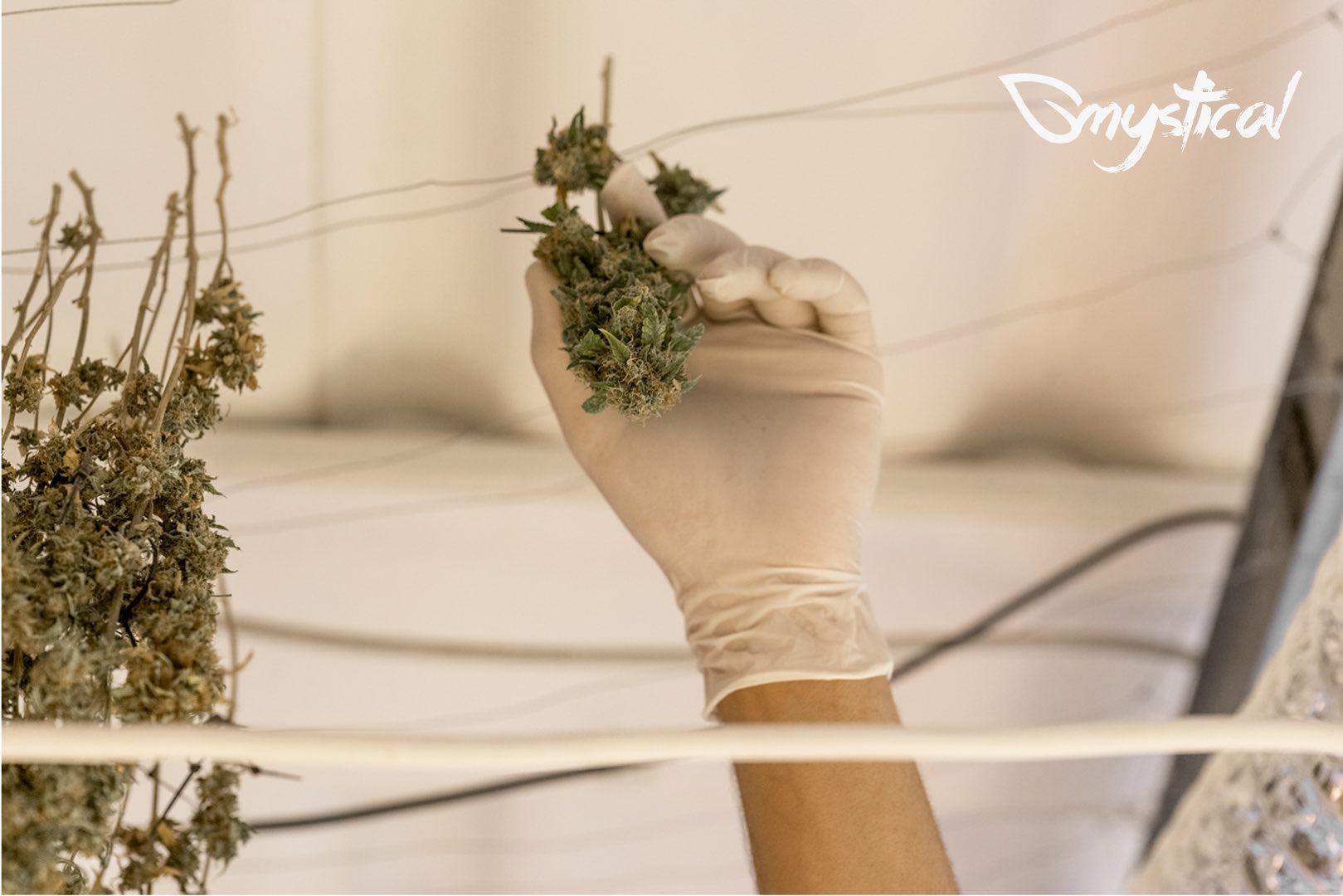 cannabis light essiccazione