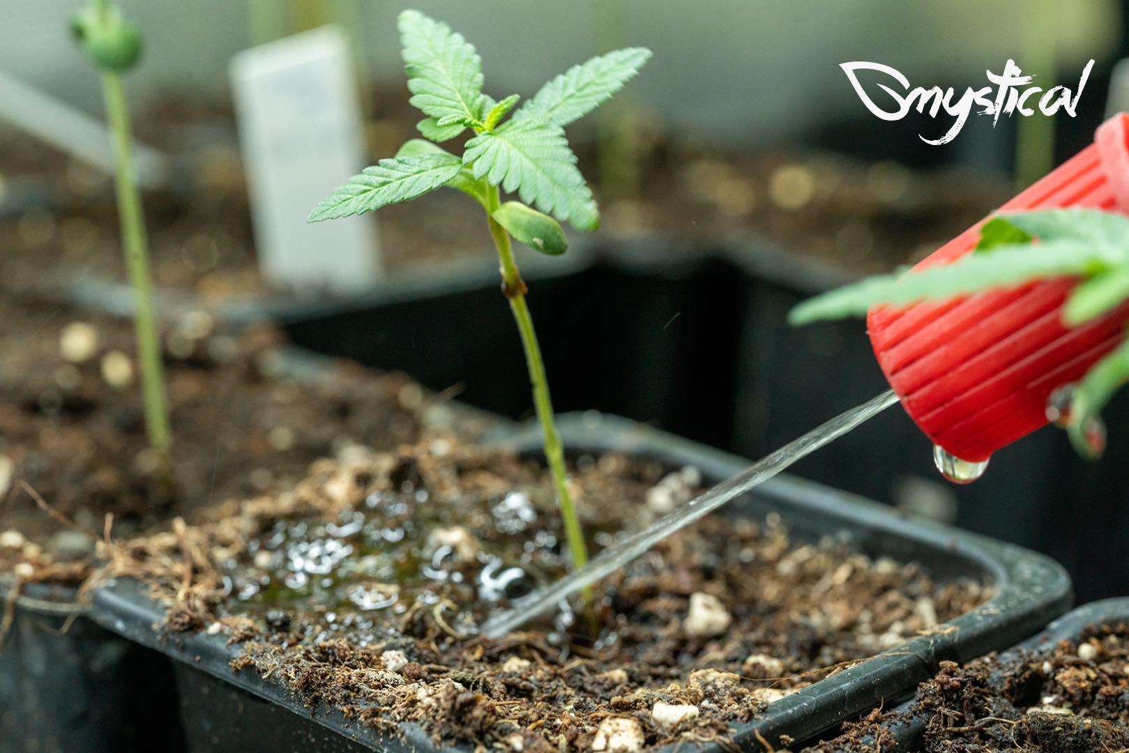 irrigazione cannabis