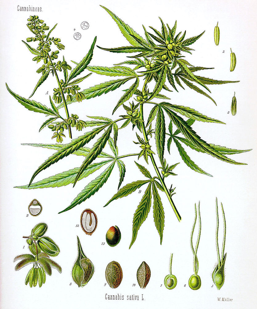 cannabis maschio o femmina