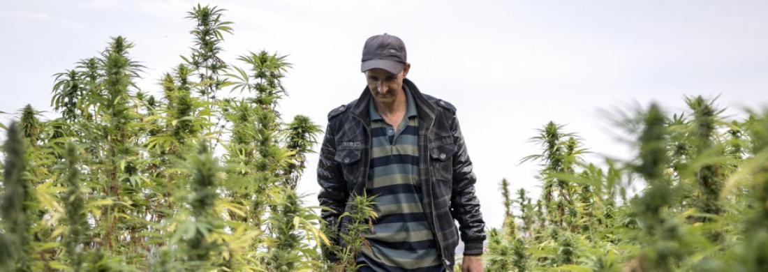 legalizzazione cannabis marocco